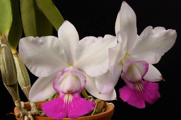 orquidea cattleya walkeriana