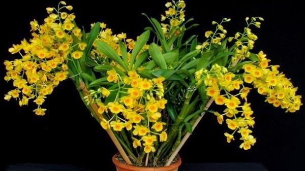 orquídea dendrobium thyrsiflorum