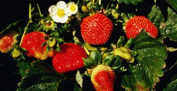 morango-plantar