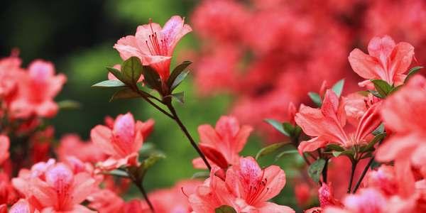 azaleia-cultivar-cuidar