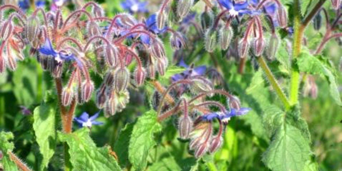flores usadas para suplementos de próstata