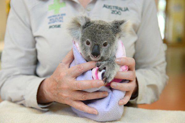 koala pelucia 2