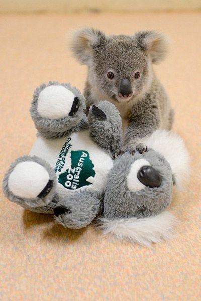 koala pelucia 3