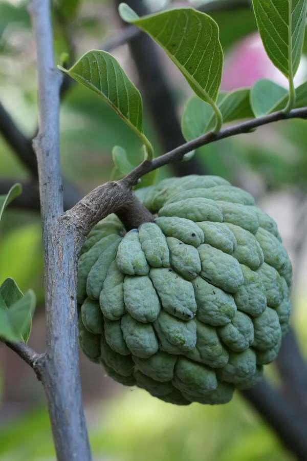 sugar_apple_on_tree.jpg