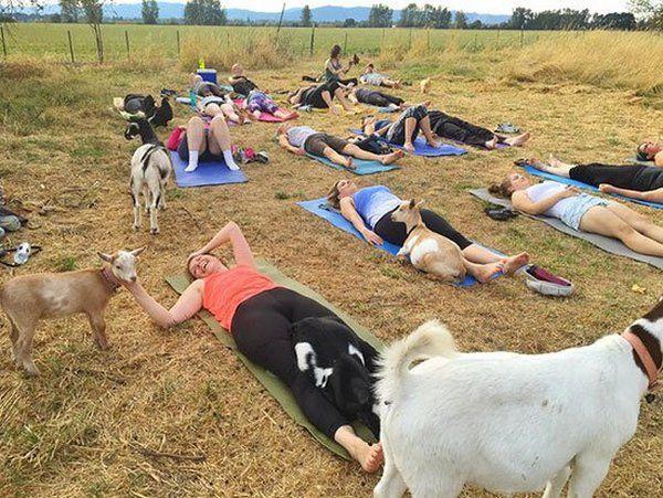 yoga cabras 2