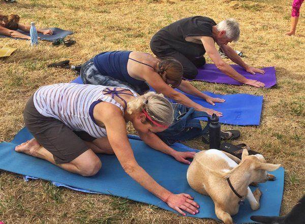 yoga cabras 4