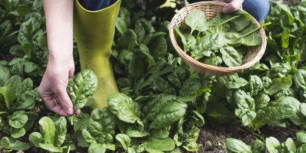 espinafres como plantar e usar