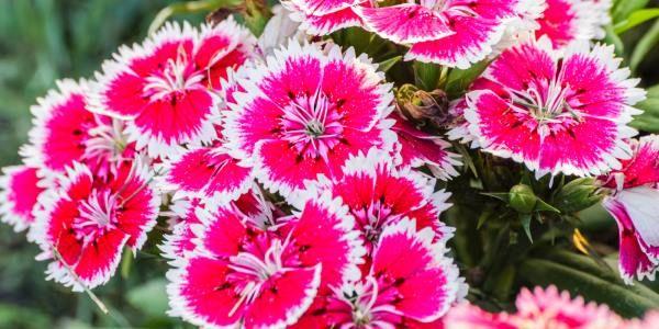 Cravina Colorida E Fácil De Manter Em Vaso Ou Jardim