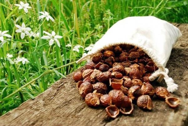 frutos da árvore do sabão