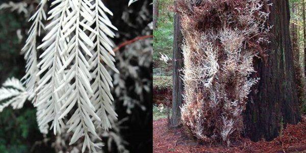 sequoias albinas