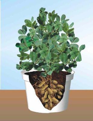 vaso de cultivo