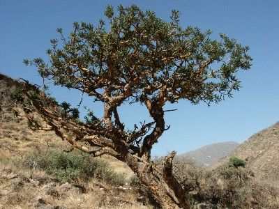 árvore de olíbano