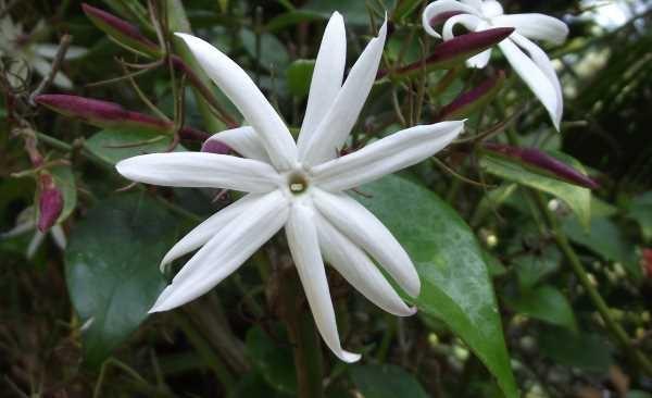 jasmin estrela