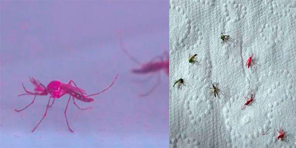 mosquitos mutantes