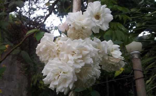 rosa branca 2