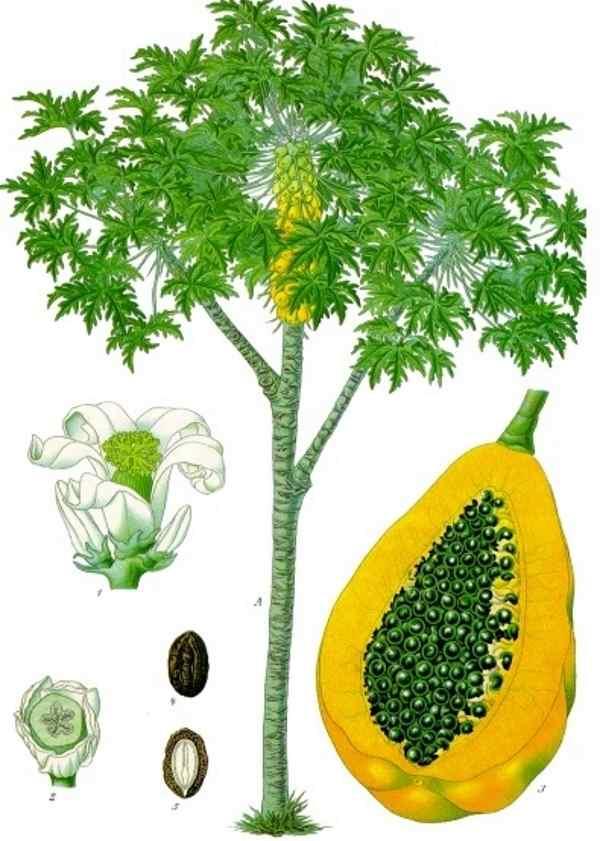 arvore papaya