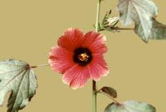 hibisco 6
