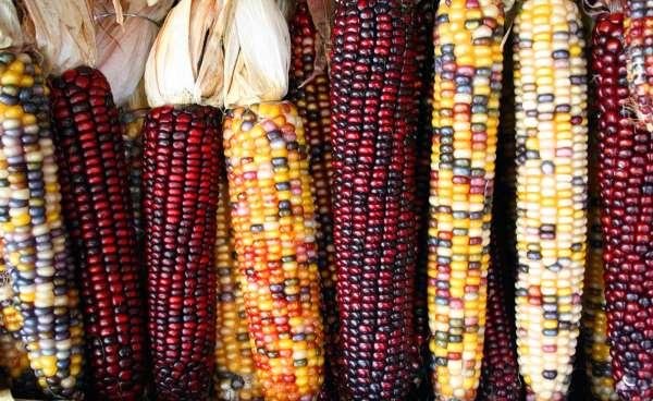 milho crioulo