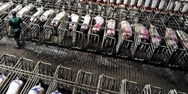 tortura de porcas