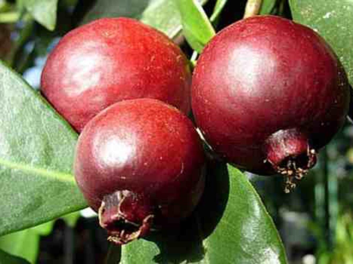 una fruta que mata la diabetes pdf