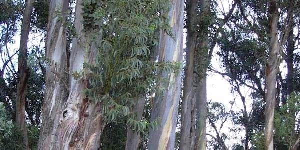 eucalipto 2