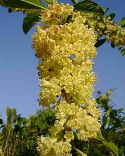 marianeira planta