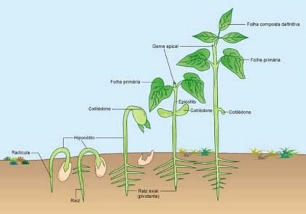 planta de feijao