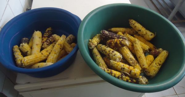 milho guarani 2