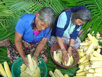 milho guarani 3