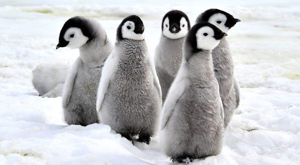 pinguins 2
