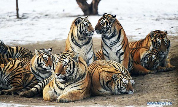 tigre obeso 4