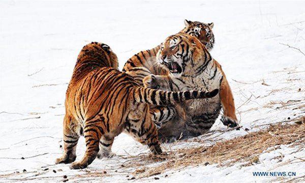 tigre obeso 5
