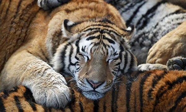 tigre obeso 6