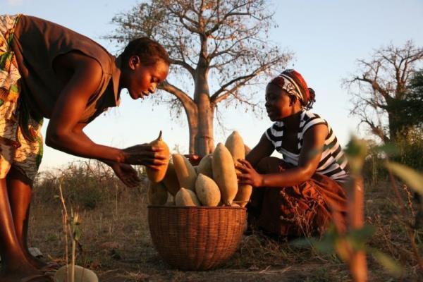 baoba colheita frutos
