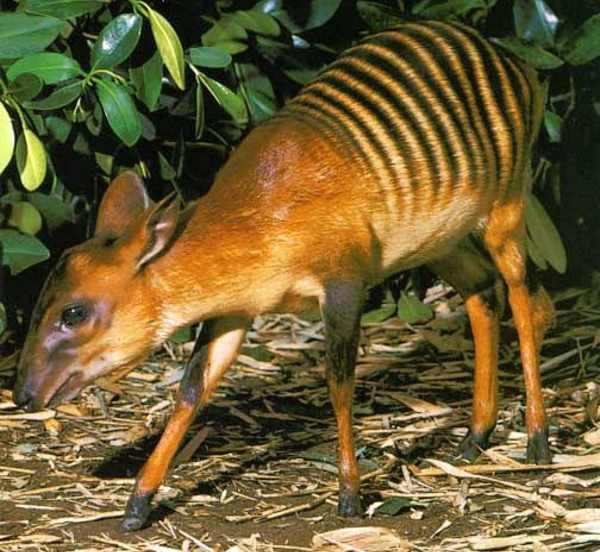 cabrito zebra