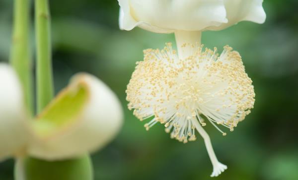 flor do baoba