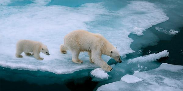 urso polar comida