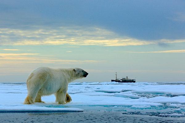 urso polar extincao