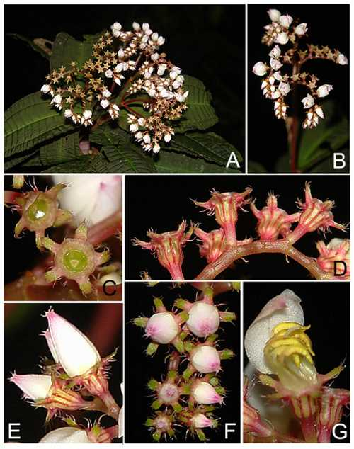 bertolonia macrocalyx