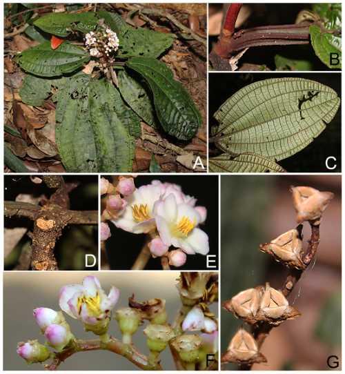 bertolonia ruschiana