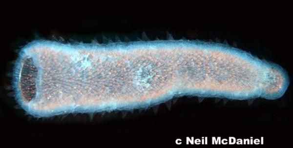 Pyrosomas