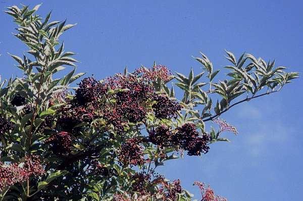 sambucus peruana 2