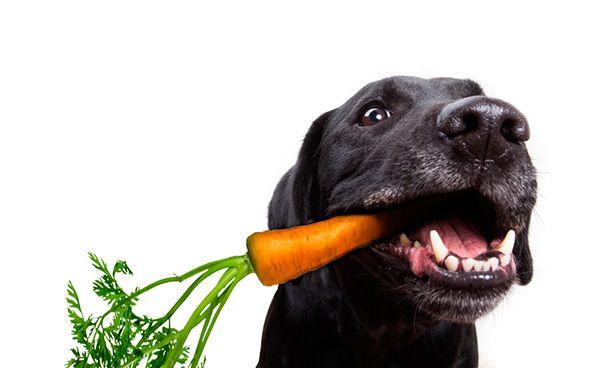cachorro come cenoura