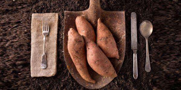 cultivar batata doce em casa