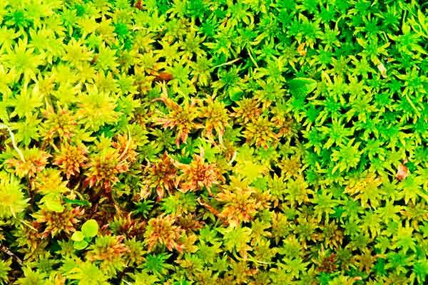 sphaagnum capillifollium