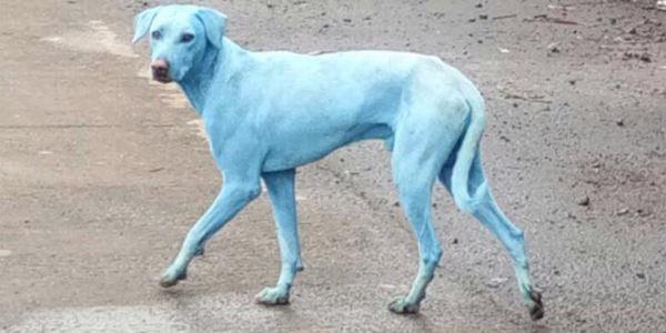 cachorro azul