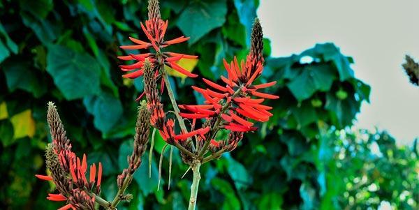 Erythrina mulungu
