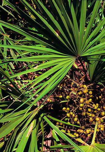 saw palmetto frutos