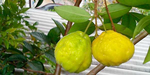 plantar uvaia