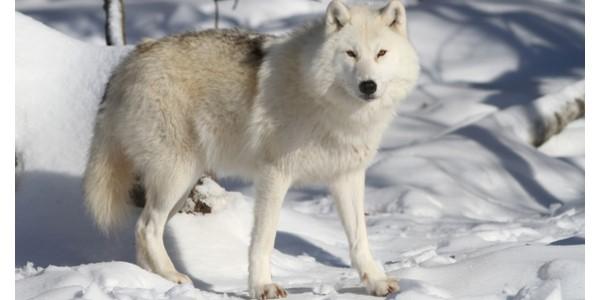 lobo do artico